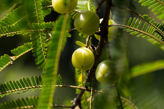Indian Gooseberry (Phyllanthus emblica) on the tree