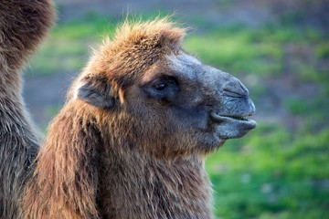 Camel in a clearing, a portrait