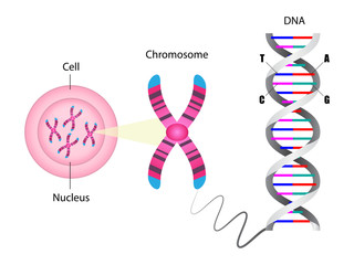 Diagram of chromosome and DNA structure