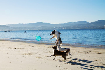 border collie dogs and dalmatians on the beach