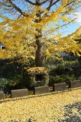 Foto op Canvas Begraafplaats Yellow leaves of the Ginkgo