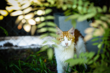 Cat chilling in green garden in daytime lighting.  Red white cat sitting out door in a park. Orange cat looking behind plants in green garden. Yellow eyes cats. Maincoon cat.