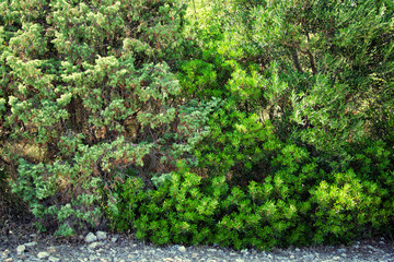 Thickets of green bush. Adriatic Sea, Croatia in summer.