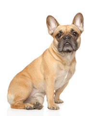 Fotorolgordijn Franse bulldog French Bulldog sitting on white background