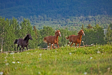Tree young Arabian Horses , chestnut and black running, playing together in a lush green summer meadow.