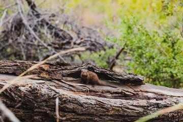 Mungo im Baumstamm in Südafrika im Krüger Nationalpark
