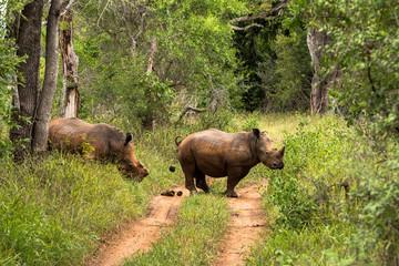 Spitzmaulnashorn im Karongwe Reservat in Südafrika bei einer Safari entdeckt
