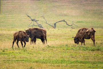 Drer europäische Büffel - The european buffalo