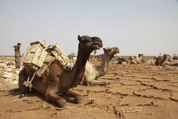 Fototapeta wielbłądy w karawanie z towarem na plecach leżące i odpoczywające na wyschniętej popękanej ziemi obraz