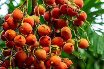 orange fruit Bethel palm, Areca catechu on a branch close-up source of paint for tissues bright colorful plant