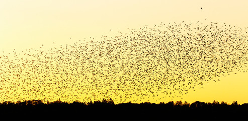 Large flock of jackdaws in silhouette flying in the evening sky