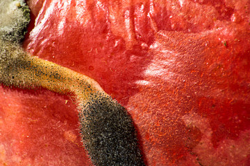 Black mold on red tomato