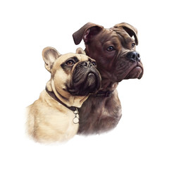 Two Cute French Bulldogs isolated on white background. Realistic drawing of boxer dogs. Hand Painted Illustration of Pets. Animal collection: Dogs. Design template. Good for pet shop, T-shirt, pillow
