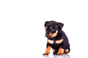 Miniature Pinscher (Purebred Dog)