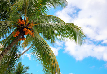 Green coco palm tree on blue sky background. Tropical paradise photo. Coco palm tree top view. Sunny skyscape