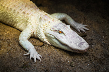 Fototapeten Crocodile Albino alligator