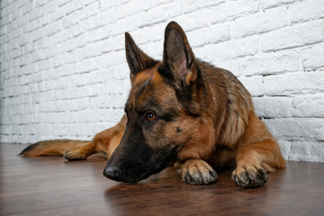 Cheerful perky dog on a brick background. German Shepherd. Cute little face.  Studio photo session. Languid expectation of the meeting