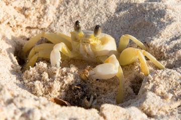 Krebs am karibischen Strand mit kleinem weiteren Krebs