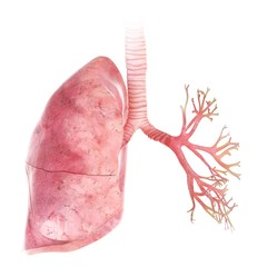 Illustration of the lung and bronchi