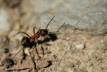 Ant Mrówka