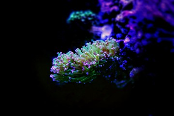 Frogspawn Coral, Thin Branched (Euphyllia divisa