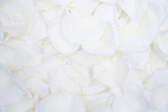 White Rose Petal Flat lay Background