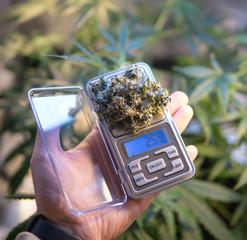 marijuana buds on scales close-up