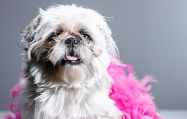 Funny looking dog portrait - close up of festive and kind of ugly looking dog posing for studio headshot photo