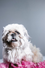 Silly, funny portrait photoshoot of small white shih tzu
