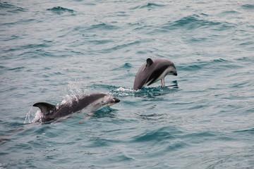 Dusky dolphins swimming off the coast of Kaikoura, New Zealand