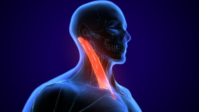 3d rendered, medically accurate illustration of the sternocleidomastoid