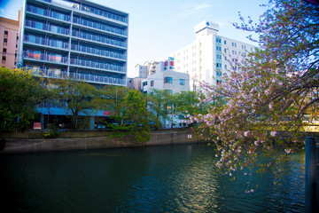 Cherry Blossom in Tokyo, Japan. April in Japan is very popular about Sakura Cherry Blossom.