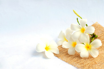 white tropical plumeria flowers on white background and copy space for your text