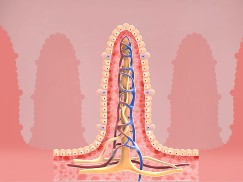 Intestinal villi anatomy, epithelial cells with micro villi and capillary network detailed 3D Rendering