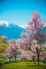 Cherry Blossom in Shinano-Omachi, Japan. April in Japan is very popular about Sakura Cherry Blossom.