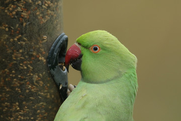A pretty ring-necked, or rose-ringed Parakeet feeding from a seed feeder. It is the UK's most abundant naturalised parrot.