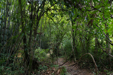 Impassable thickets are in the tropical jungle of Thailand.