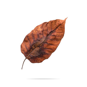 Dry leaf isolated on white background. Decay brown leaves for your design. Clipping paths object.