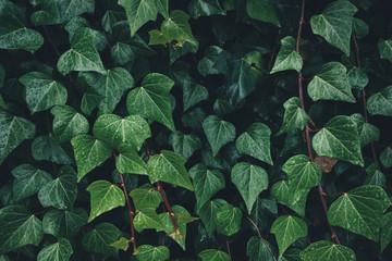 Close-up Of Dark Ivy Leaves