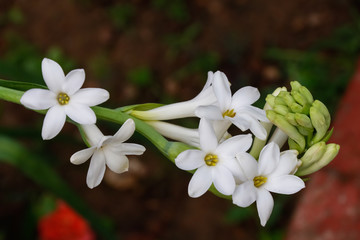 Beautiful bunch of tuberose flower covered with green leaves background