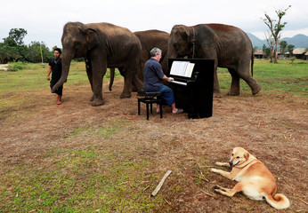 British volunteer Paul Barton plays piano for sick, abused, retired and rescued elephants in sanctuary along Thailand-Myanmar border in Kanchanaburi