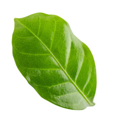 Green leaf of coffee isolated on white background.