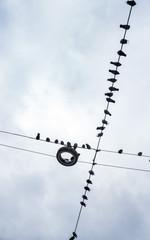 Tauben auf sitzen auf Stromleitung. Taubenplage und Verschmutzung