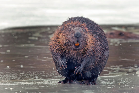 funny brown american beaver (castor genus) sits on the shore of a frozen lake in winter