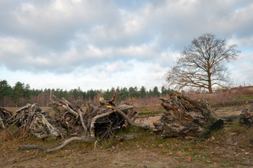 Row with large uprooted tree stumps in the foreground of a natural area