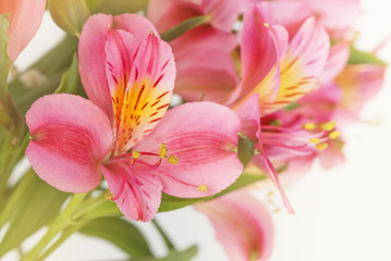 Background of red alstroemeria flowers close-up