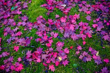 maple  fall season