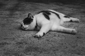A black and white photo of a beautiful adult young black and white cat on a gray concrete surface