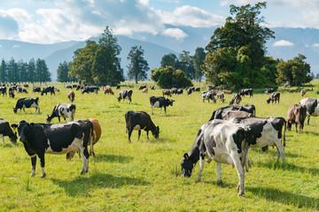 Cow standing on green glass, New Zealand farm animal