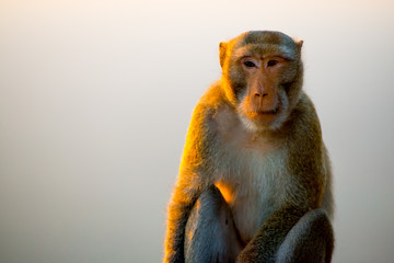 Monkey in Bangkok, Thailand. Thailand is known as a country with a smile.